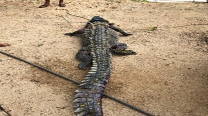 Atrapan cocodrilo de río que nadaba en Pie de la Cuesta. Noticias en tiempo real